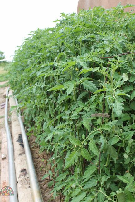 2015.07.17 Corrales Classic Farms-28.jpg