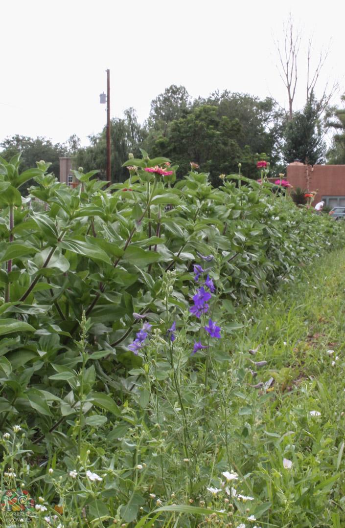 2015.07.17 Gonzales Flower Farm-8.jpg