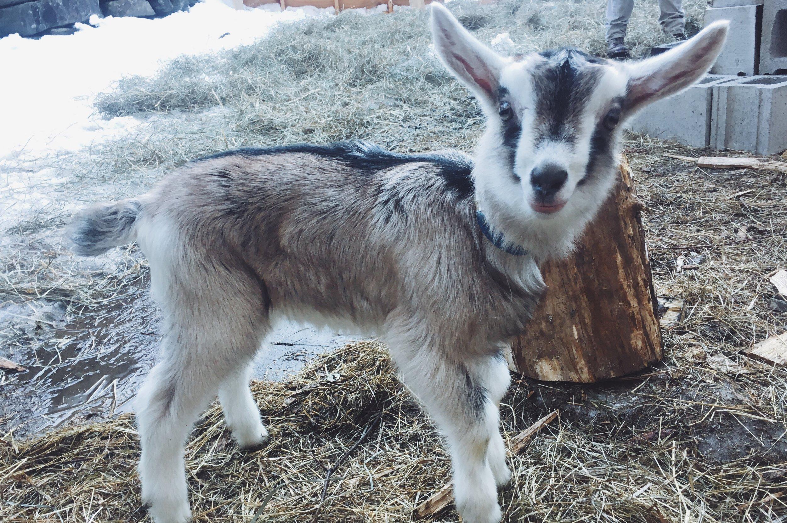 Arrowhead Forest Farm goat Phoebe.JPG