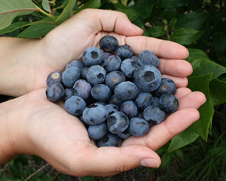 BLUEBERRY ORCHARD   229 Central Rd S, Ngatea   Best thing for a hot day. Pick some berries and grab yourself an ice cream!