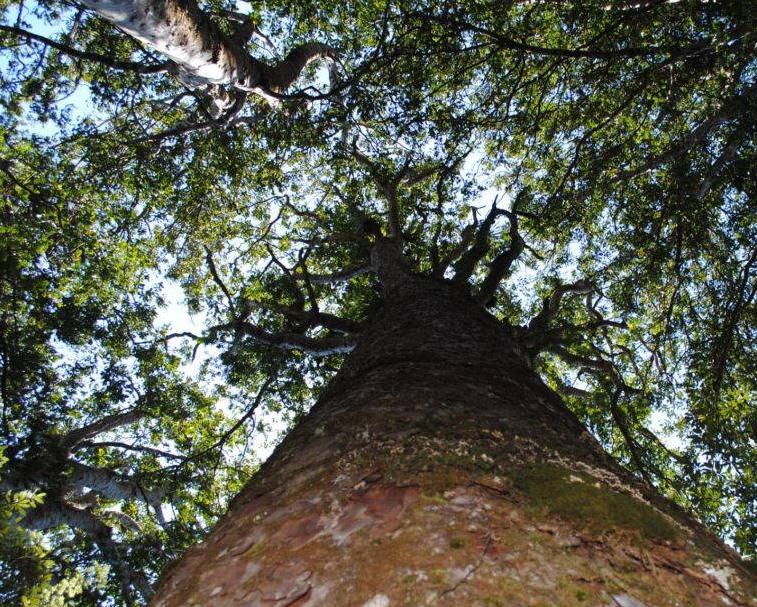 SQUARE KAURI    Tapu Coroglen Rd, Coromandel Forest Park   Climb a short track to marvel at an unusual square trunked kauri and enjoy the view across to Maumaupaki on the main Coromandel Range.