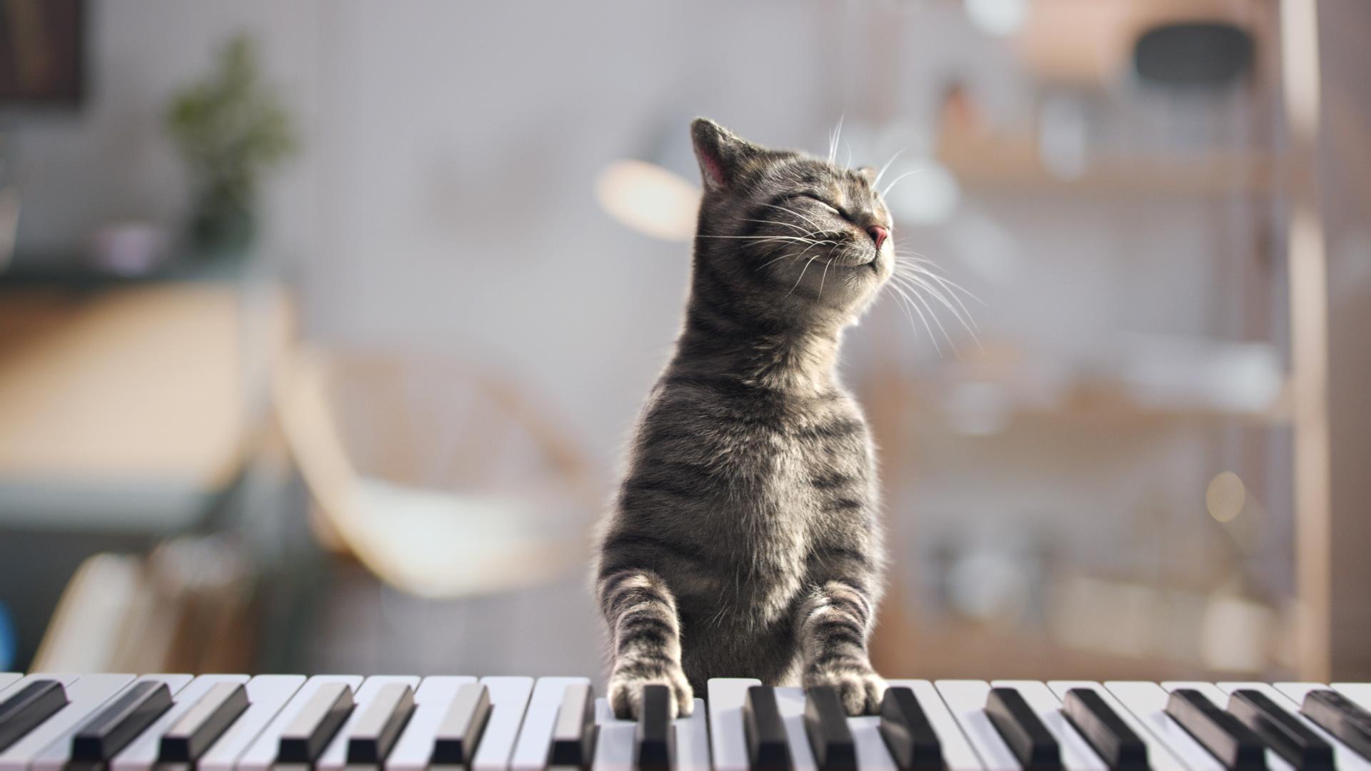 Chocofresh - Piano Cat