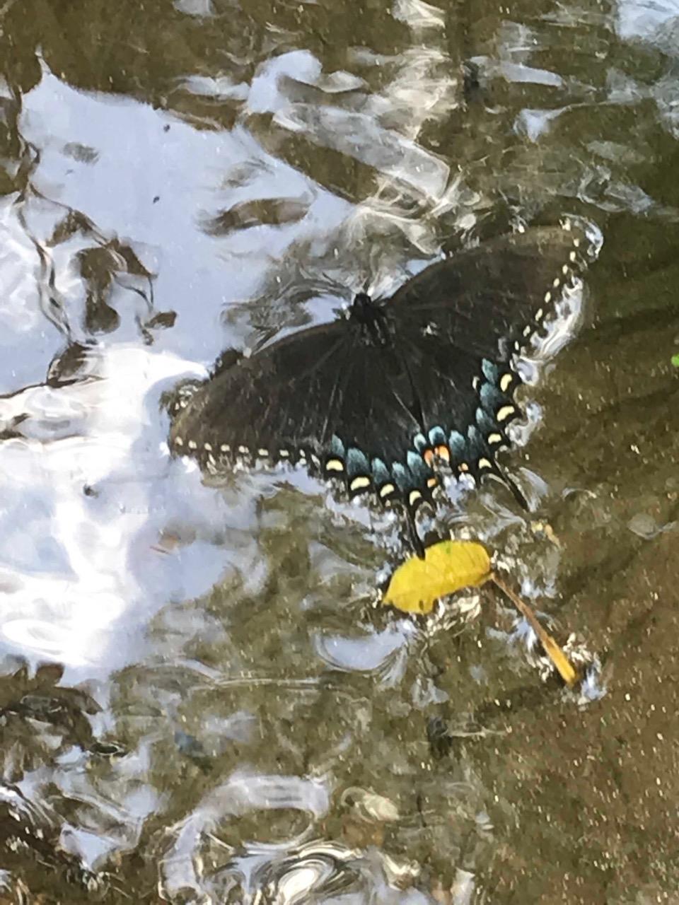 butterfly on stream 2.jpg