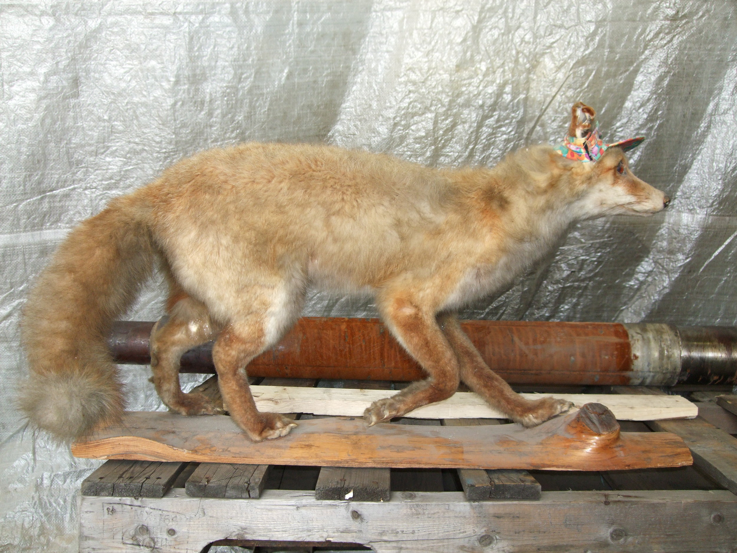 Louie's Fox.JPG