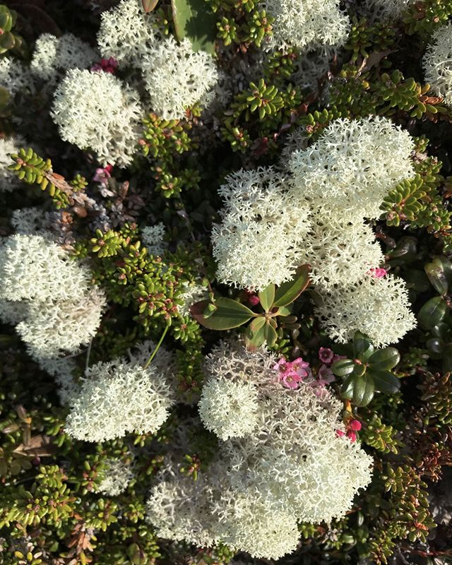 Often overlooked until they begin to brightly flower, alpine azaleas cling to the windswept coastal headlands of Fogo Island among the caribou lichen.⠀ ⠀ #wildflowers #trapberthseason #fogoisland