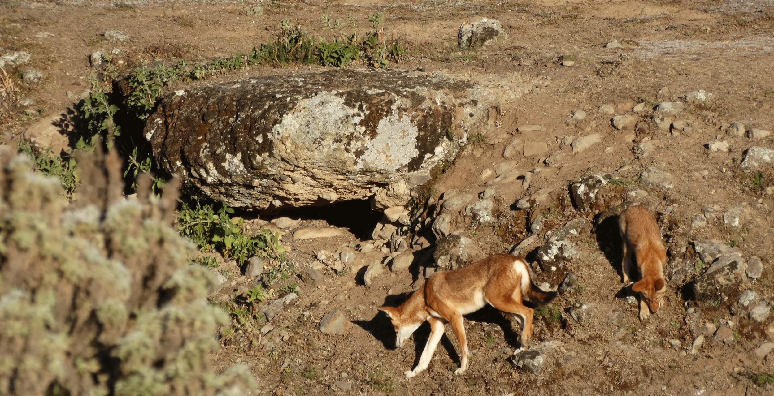 Bale-Mountains-Wildlife.png