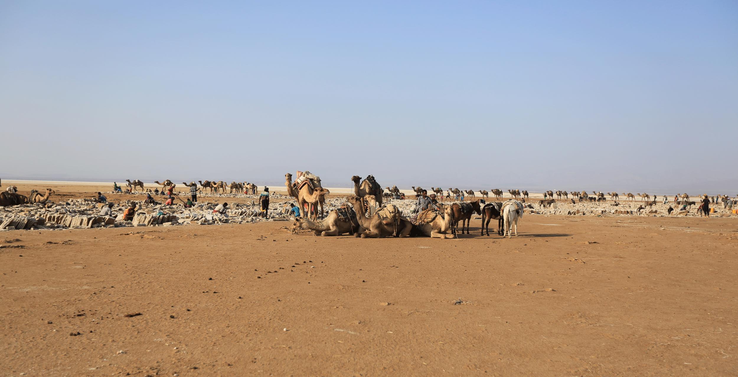 Danakil-Camels-Ethiopia.png