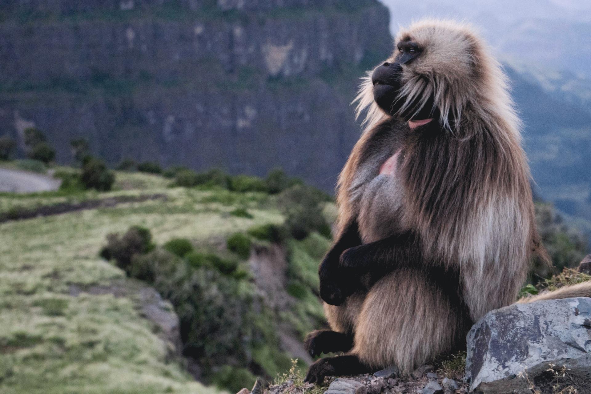 Gelada-Baboon-Ethiopia-Wildlife.jpg