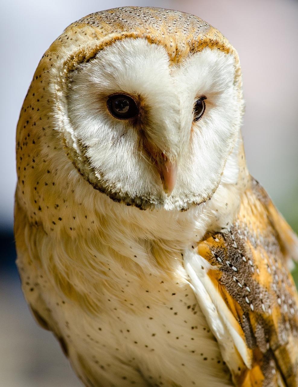 barn-owl-1180263_1280.jpg
