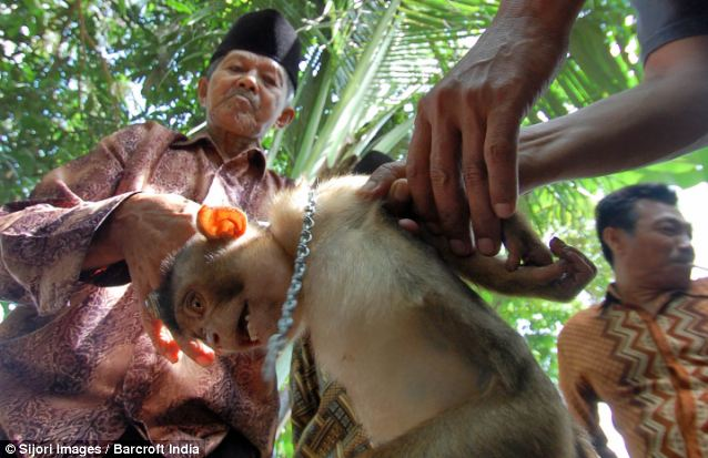 An Indonesian monkey being sold to coconut farmers, Photo Credit: The Daily Mail