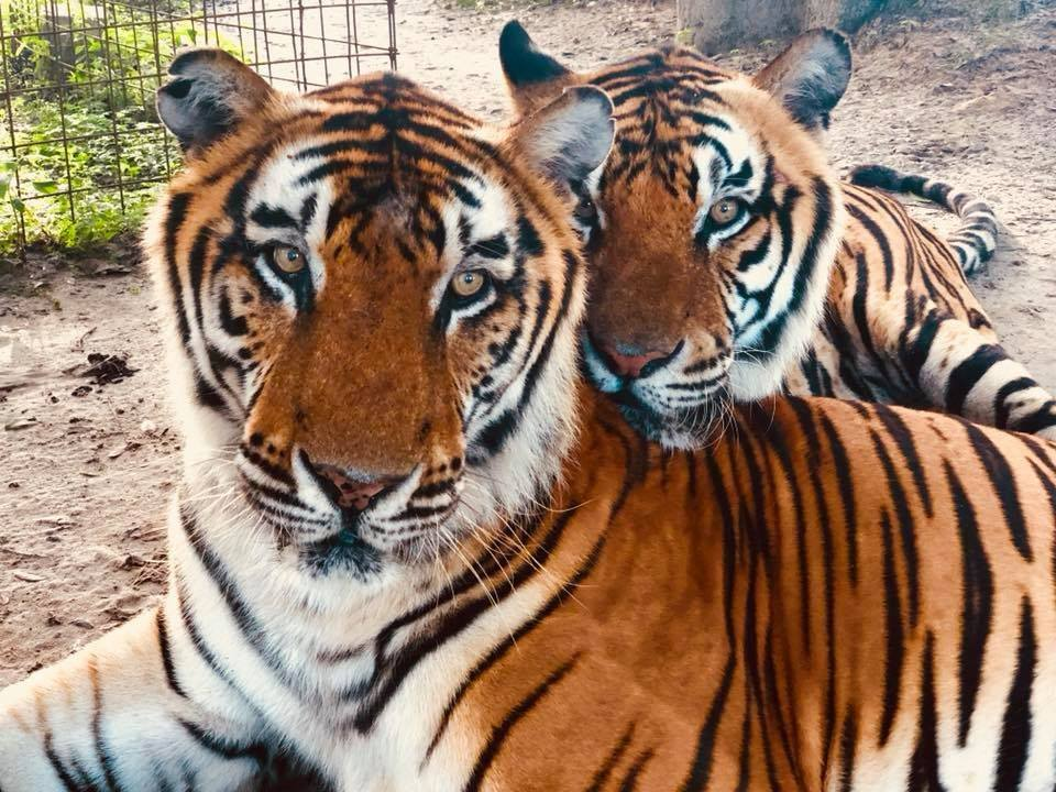 Frosty & Apollo relaxing at their accredited sanctuary home, The Big Cat Rescue in Florida, United States.