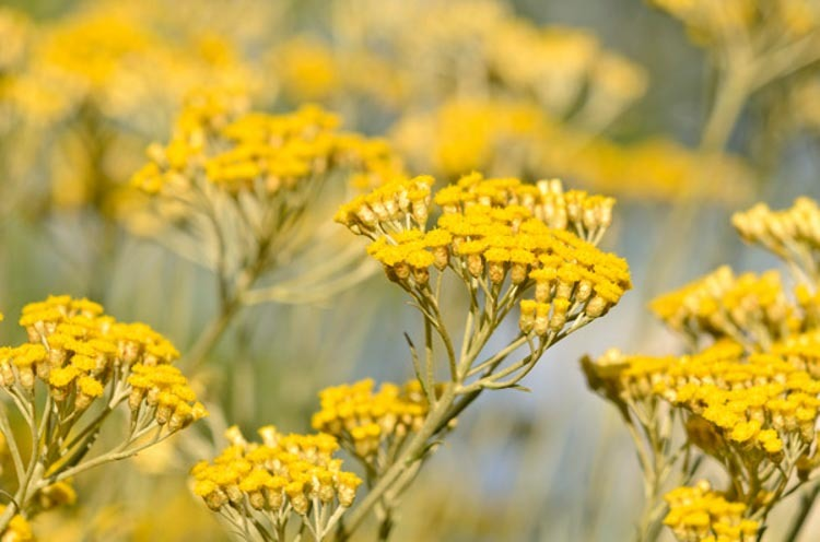 Helychrisum oil is derived from the yellow flowers of the helychrisum italicum, also referred to as the curry plant.