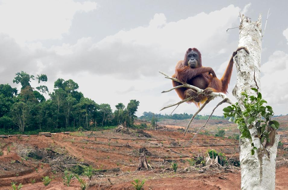 palmoildeforestationorangutan.jpg