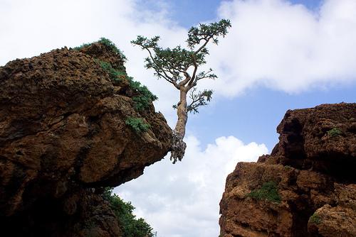 frankincense tree_cliff.jpg