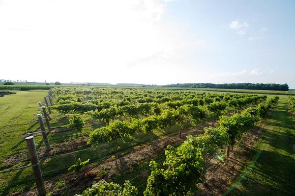 The vineyard at Winery at Versailles.