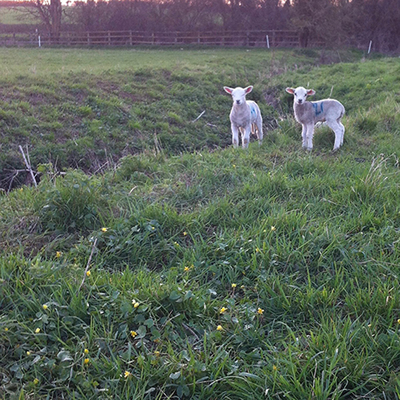 Lambs by the Biddestone stream. The A4 in the background beyond the fence.