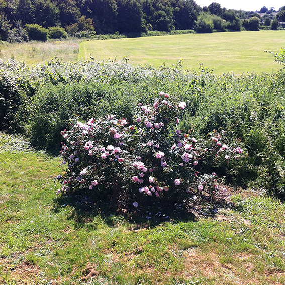 Cultivated shrub growing next to the track.