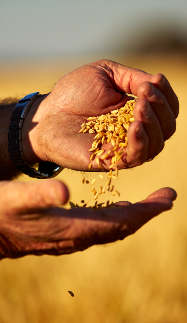 Through the Pure Seed Program, SunRice can deliver consistent short grain quality with authentic Japanese heritage. -