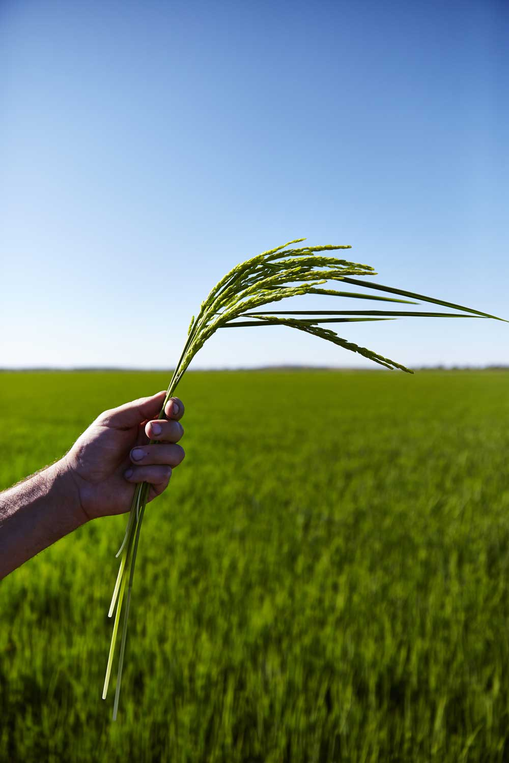 SunRice is the only rice company in the world that is vertically integrated, a key differentiator ensuring full traceability back to the farm. -
