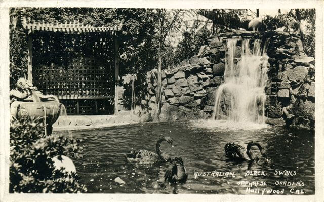 australian_black_swans_bernheimer_japanese_gardens_hollywood_ca.jpg