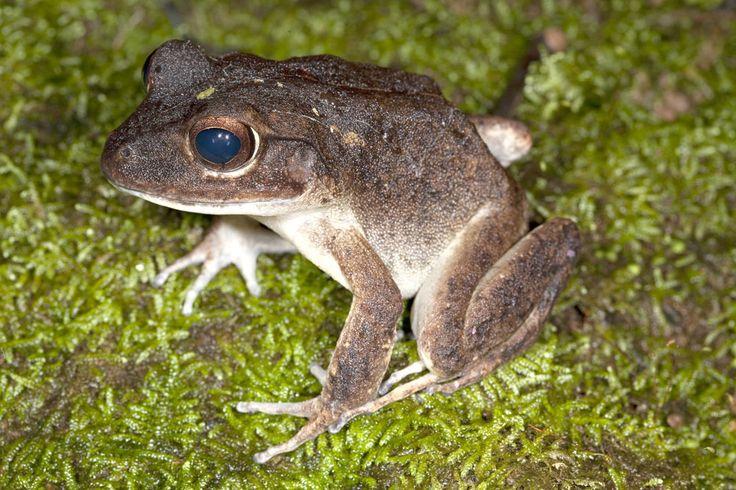 Ekos Fiji Frog