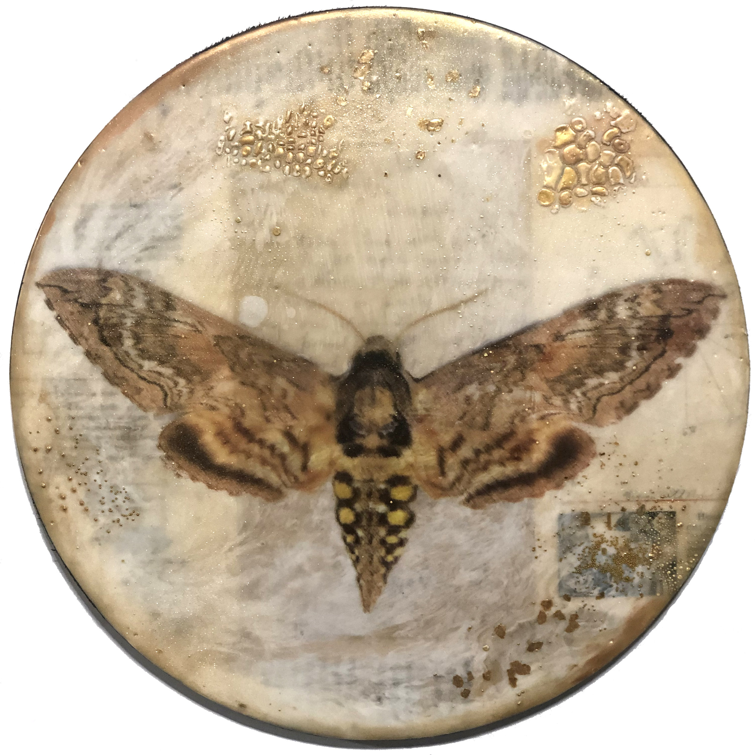 Blackburn's Sphinx Moth_Amidon.jpg