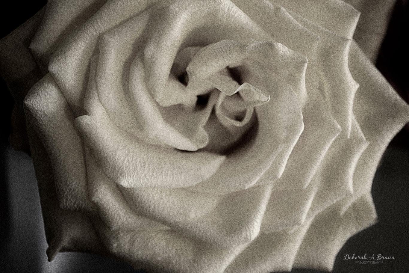 White-Rose-B&W.jpg