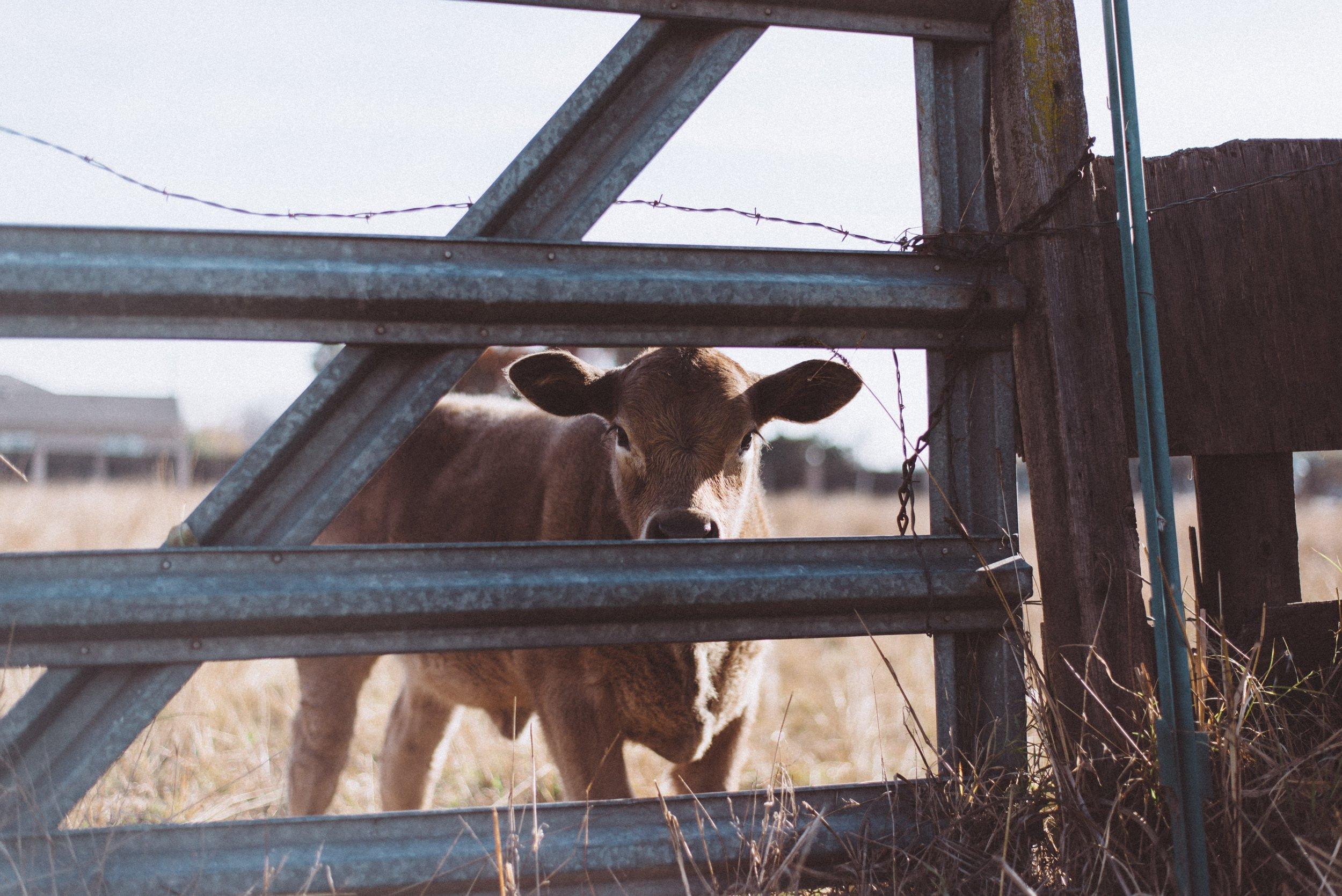 agriculture-animal-animal-farming-775418.jpg