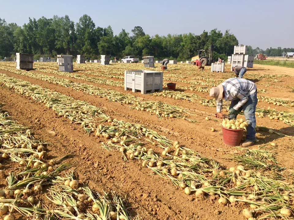 G & R Farms Vidalia Sweet Onions.jpg