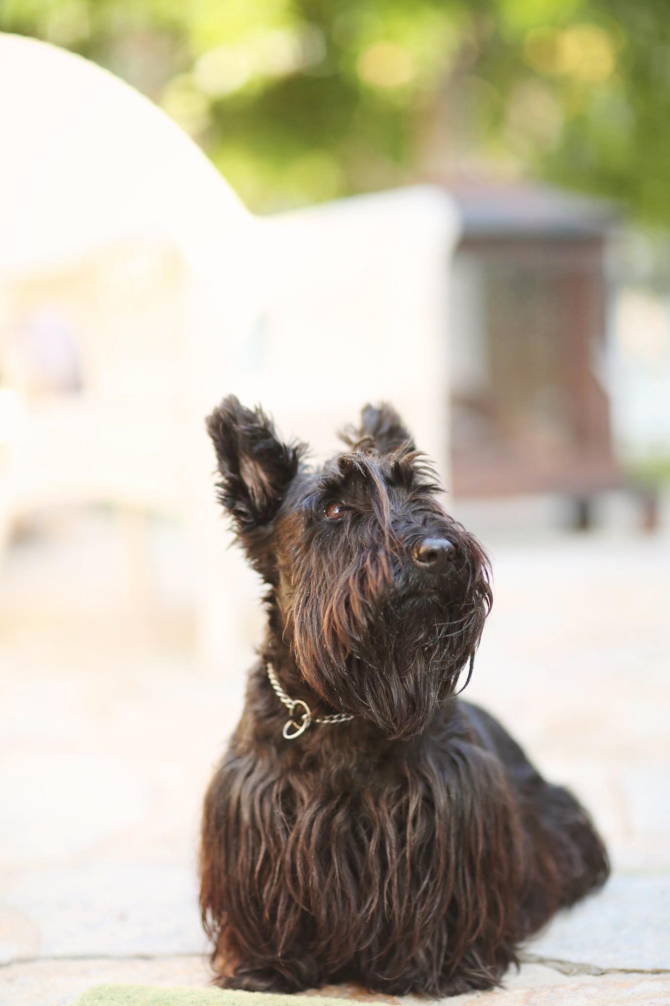 Cute black scotty dog at the beach. Doggy portrait.