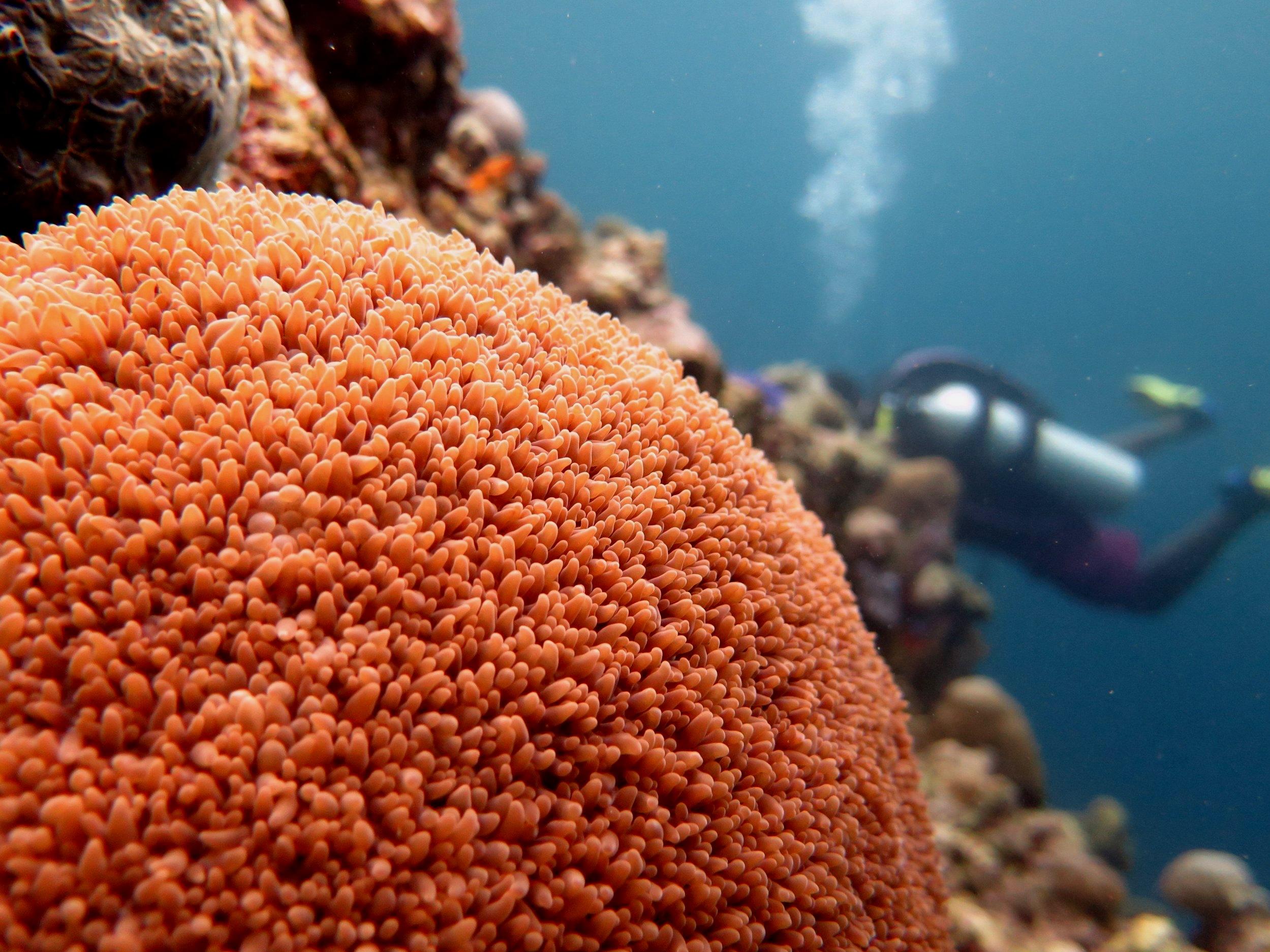 Coral Wakatobi