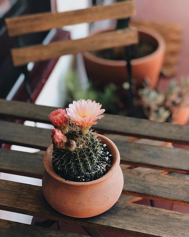 enjoying these beautiful cacti blossoms for the present moment because they do not last long at all (anywhere from a few hours to a full day at max) 🌵🌸#thisplacecalledhome