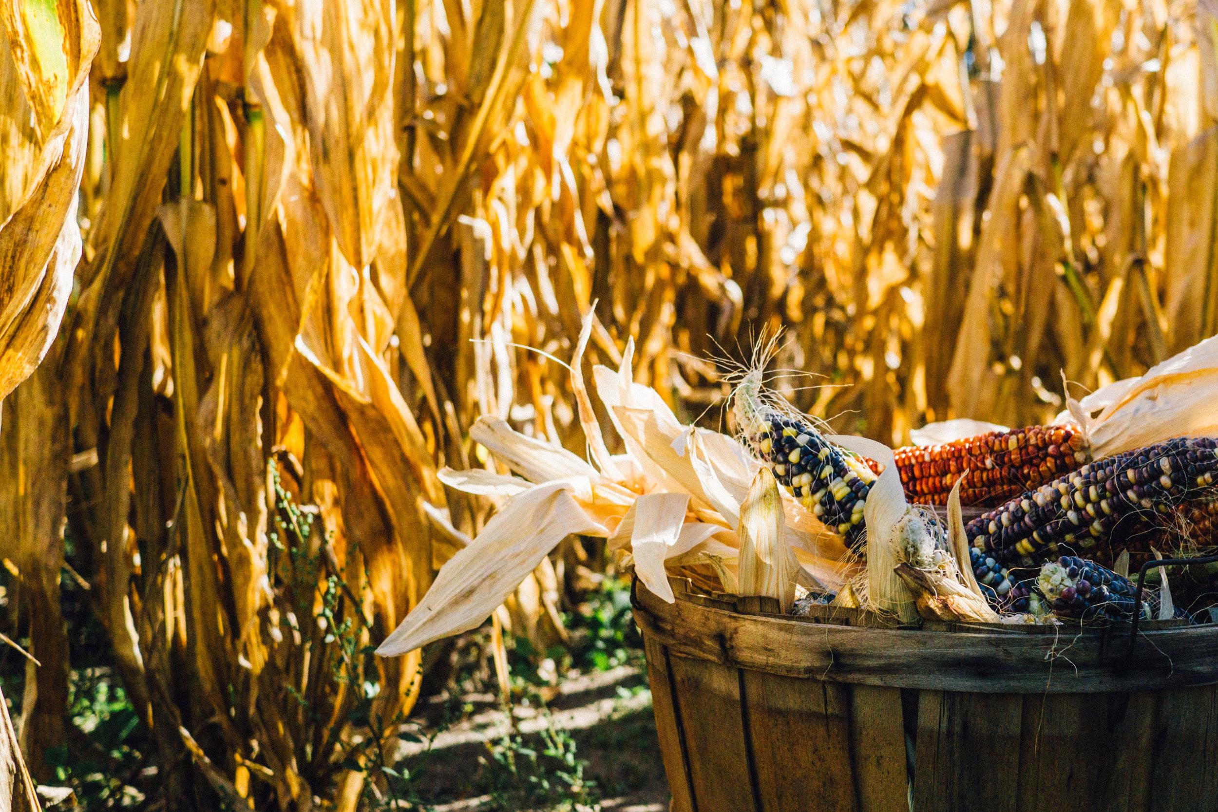 industries---maize-by-aaron-burden-40486-unsplash.jpg