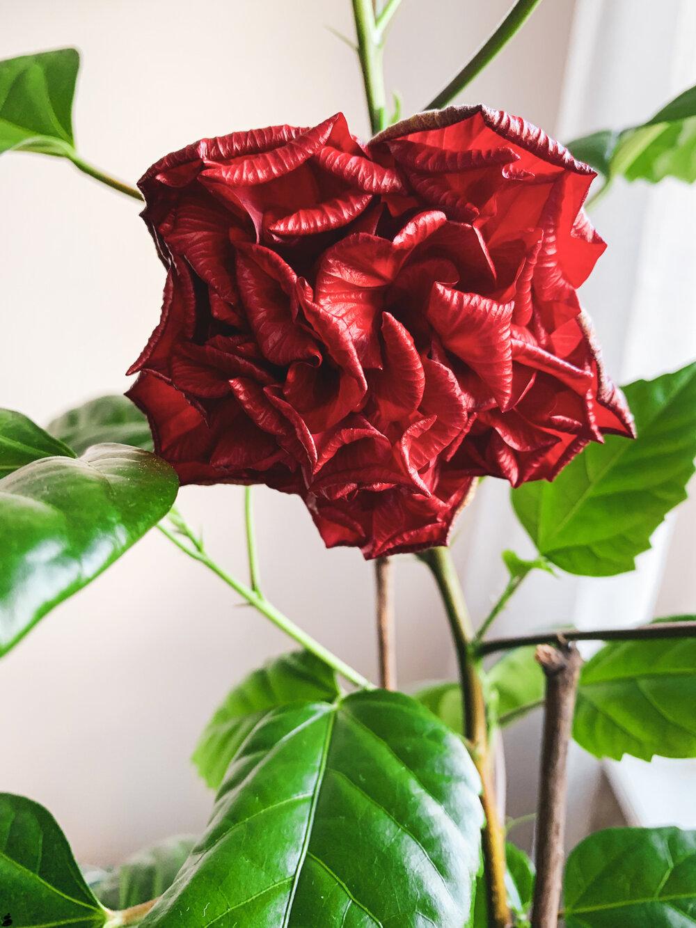 Kolla vad fin blomma vår Kinaros fått! Ger verkligen fin energi i rummet.