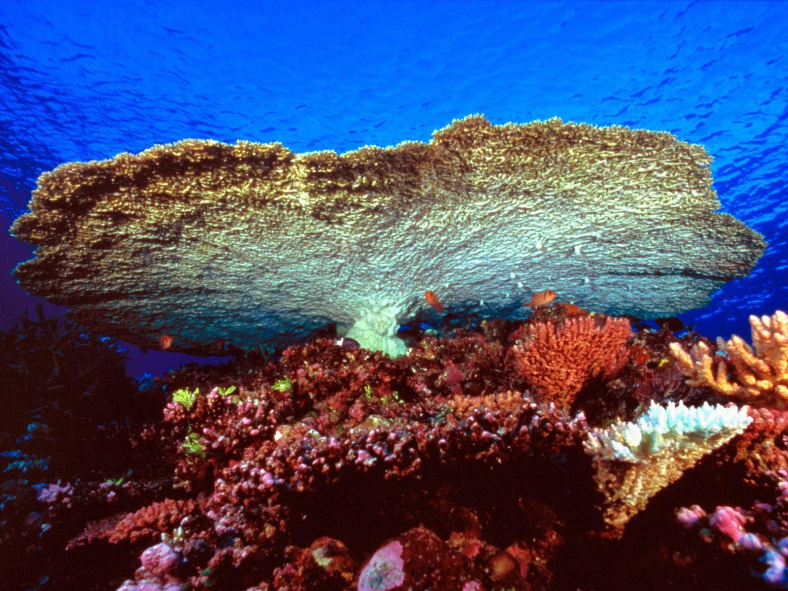 giant table coral.jpg