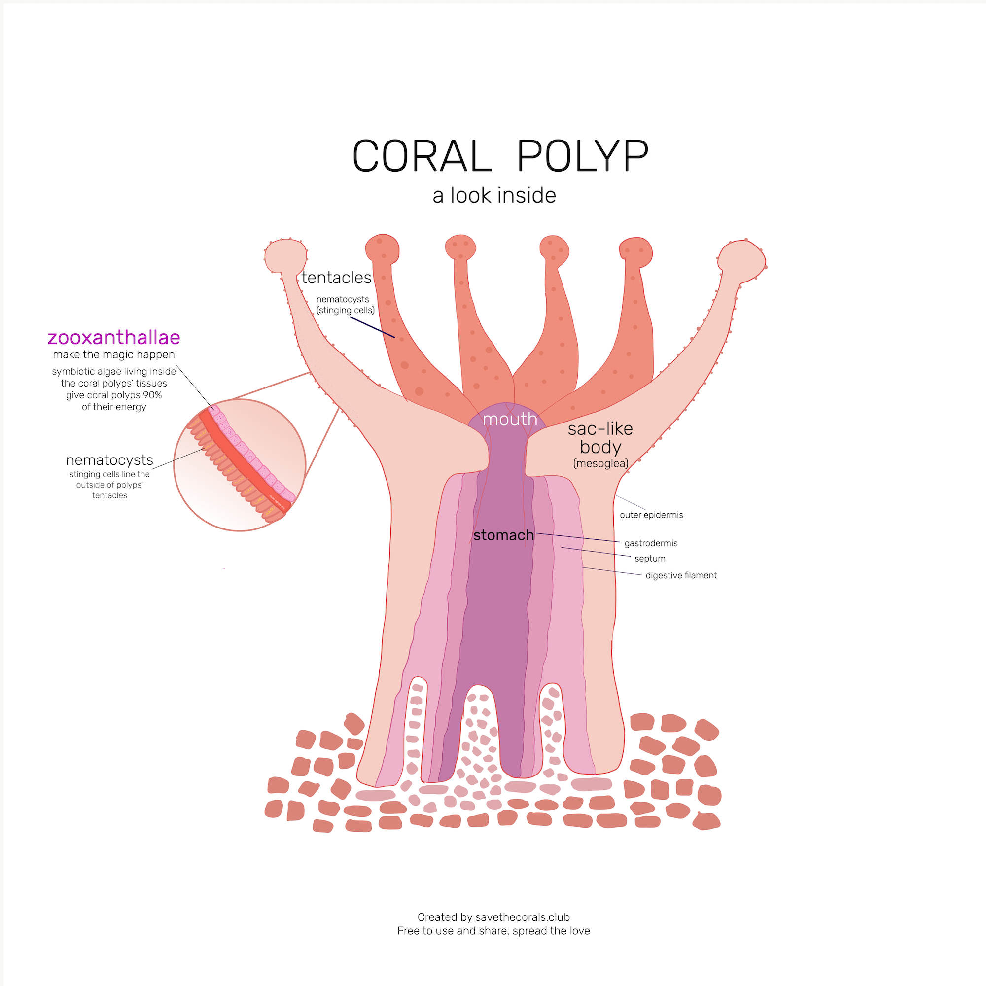 save-the-corals-coral-polyp-diagram-inside-zooxanthallae.jpg