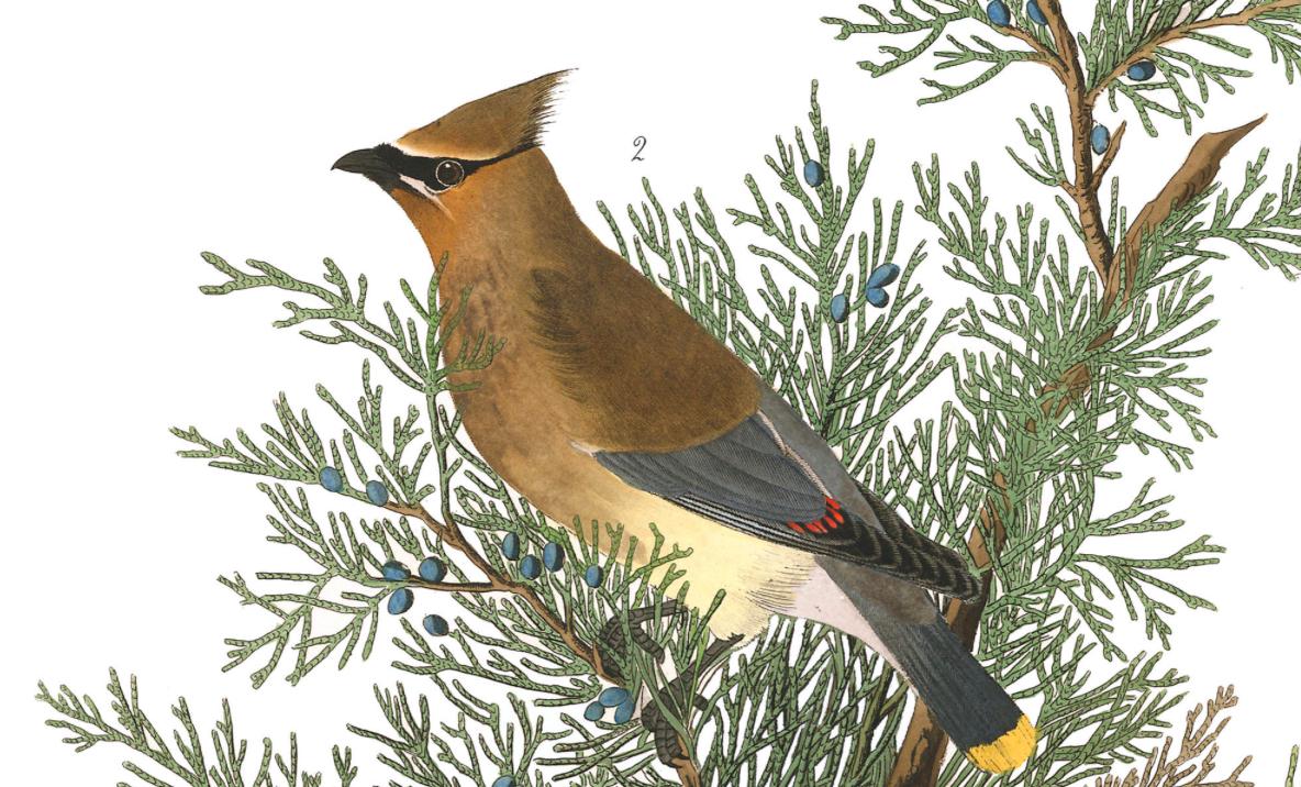 Cedar Bird  - John Jay Audubon