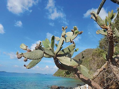 Opuntia rubescens_NPascoe (002).jpg