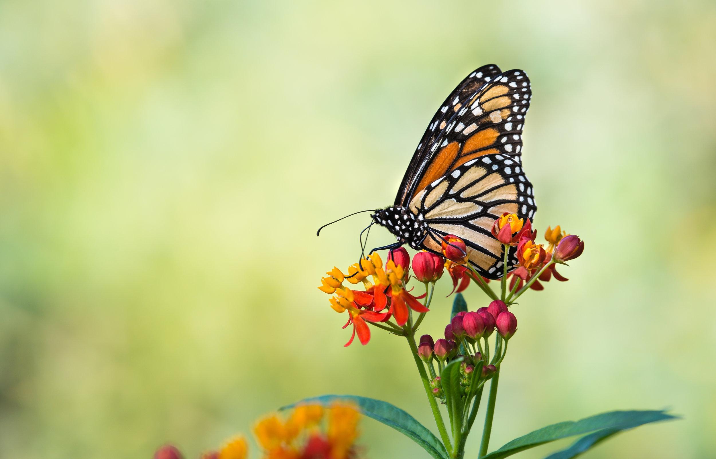 Perennials that Attract Butterflies