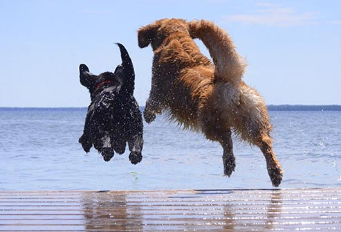 getty_rf_photo_of_dogs_jumping_off_dock.jpg