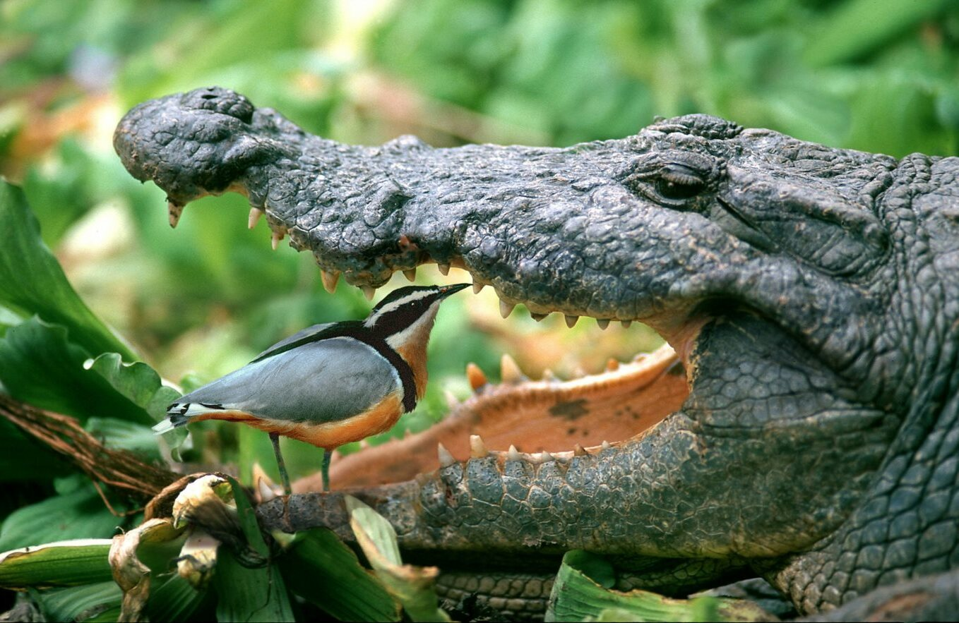 Crocodile-Plover-Teeth-Cleaning.jpg