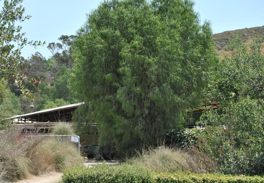 Austrialian Willow by Ironwood Barn