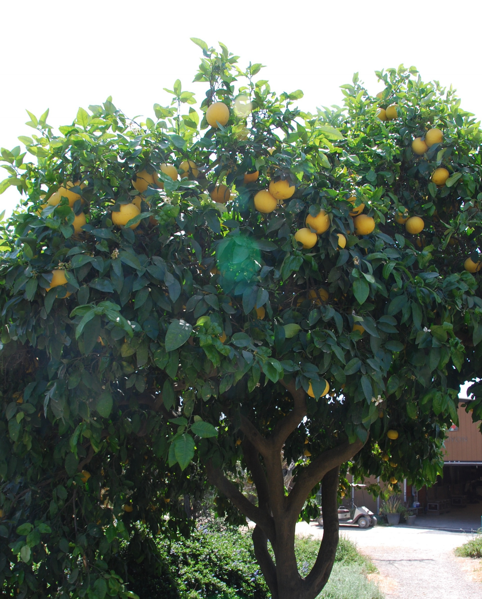 Grapefruit ready to harvest by the Euro Walker