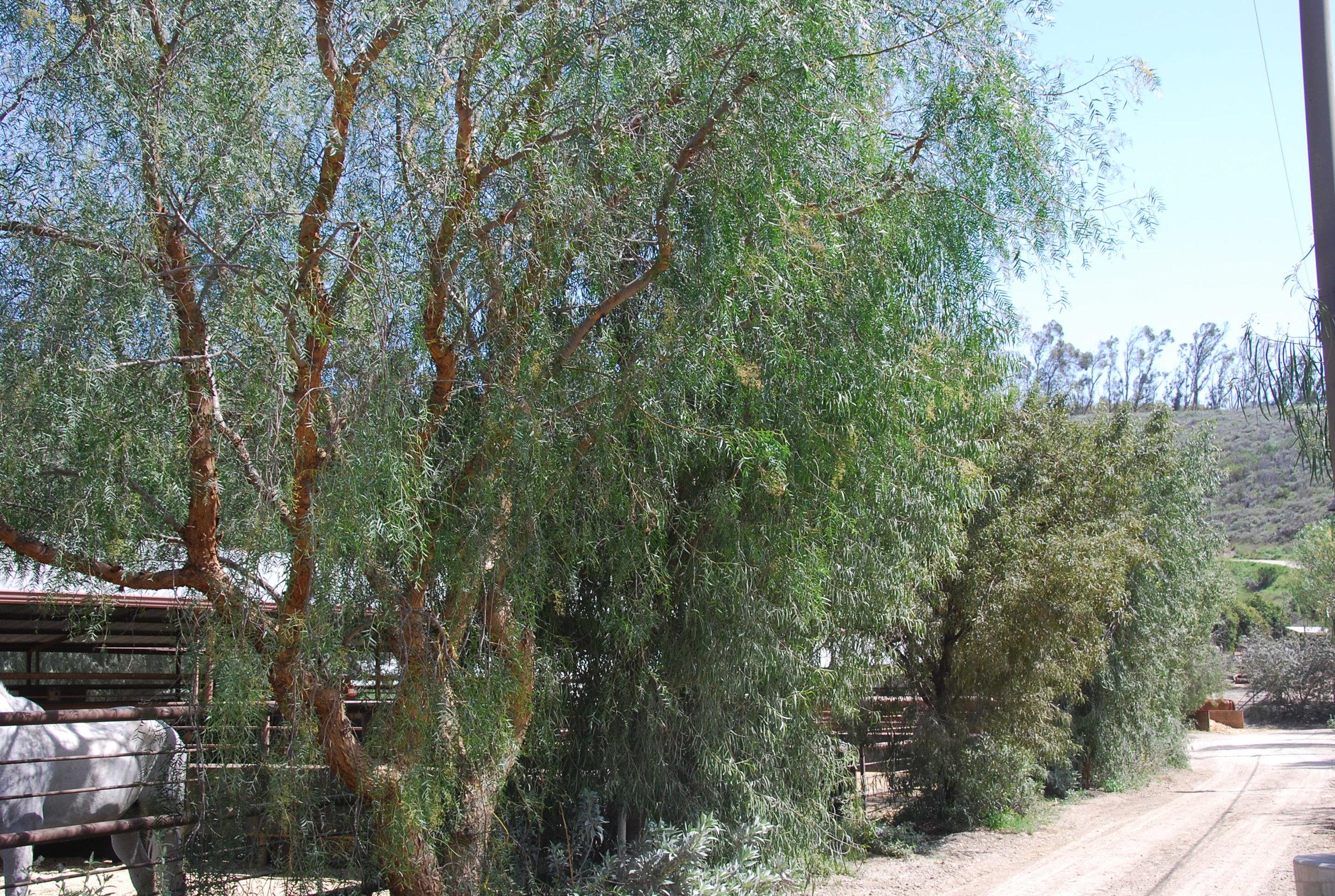 Pepper Trees