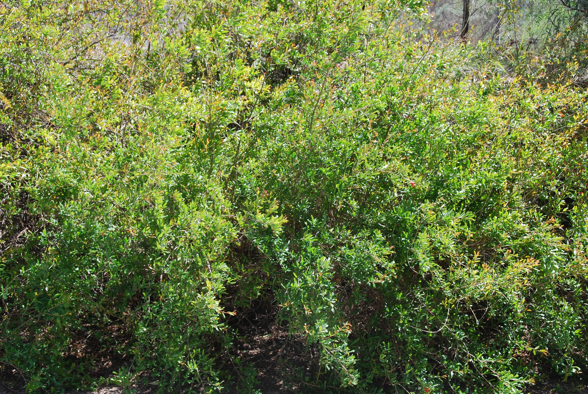 Wonderful Pomegranate Trees ready to harvest in the fall