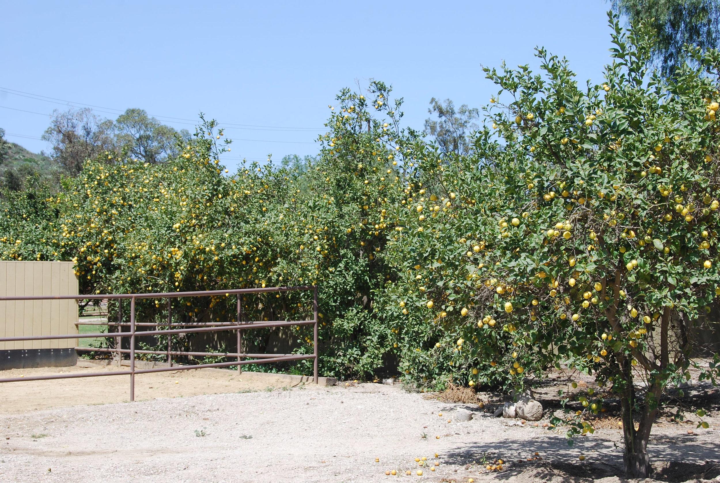 Lemon Grove Behind Bay Laurel Barn