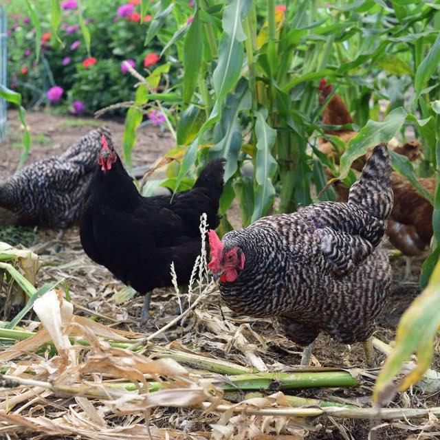 Bradbury Farm Fresh Eggs    Amazing farm fresh eggs available locally in Bloomington/Normal. So good!