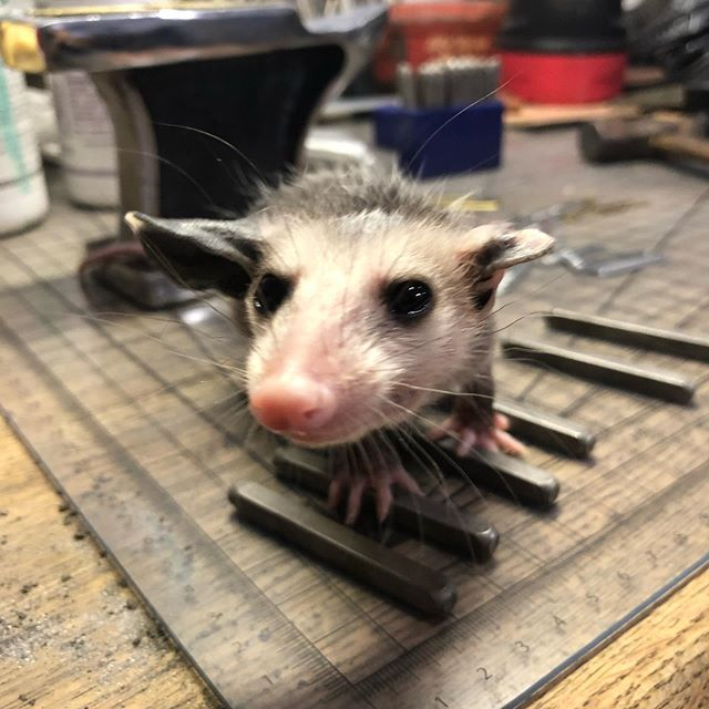 ⚒If your production bench doesn't look like this, are you even doing it right? 🤷🏼‍♀️ . #ProductionAssistant #wildliferehabber #PopcornThePossum #WildlifeRehab #possum #opossum #opossums #possums #possummagic #smallchangefinery #jewelrydesigner #handmadejewelry #rescueanimal #animalrescue #animallover #babyanimal #cute #adorable #helping #helper #jeweler #anvil #stamping #handmade