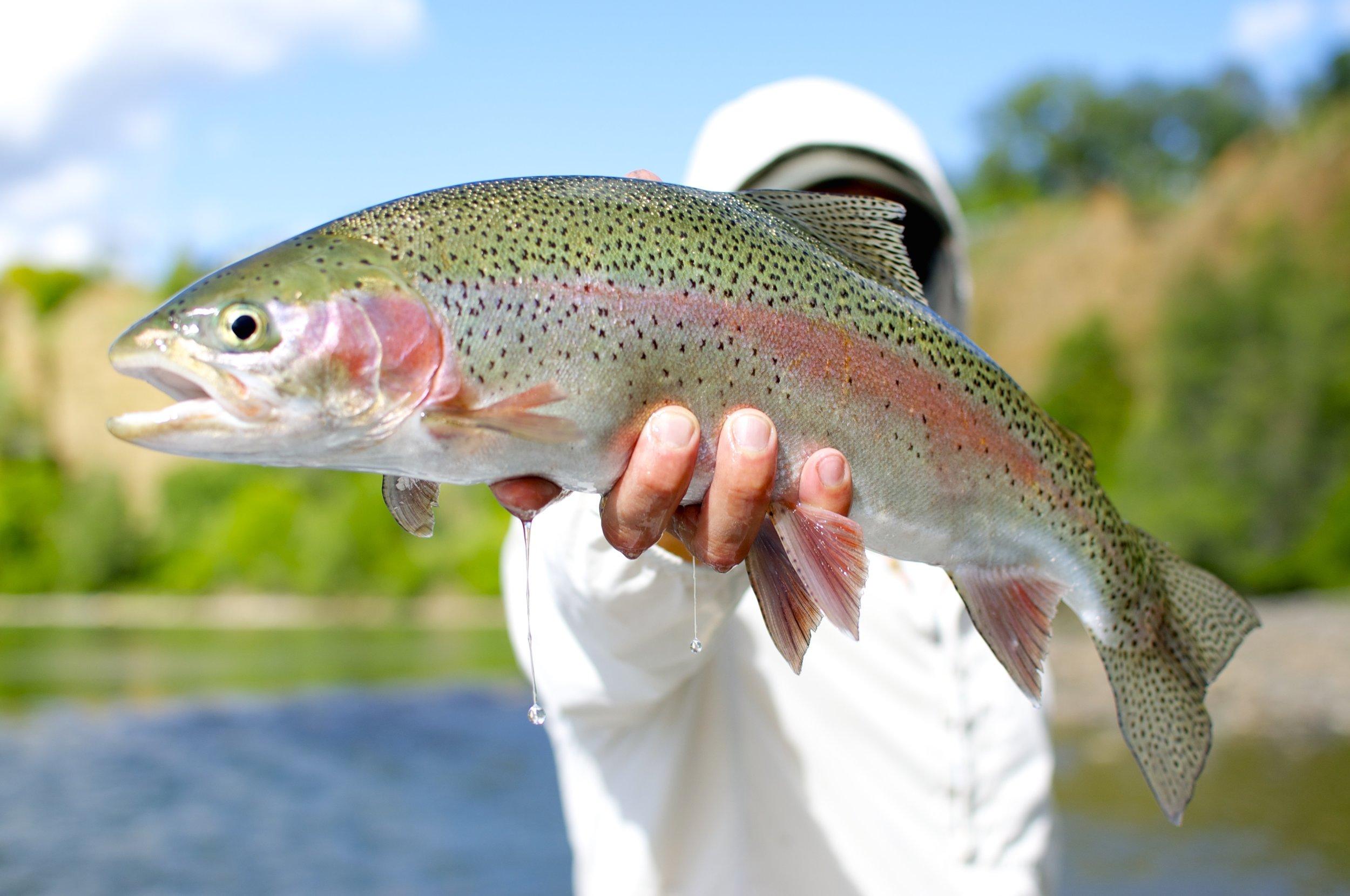 Trout | steelhead | bass | Salmon