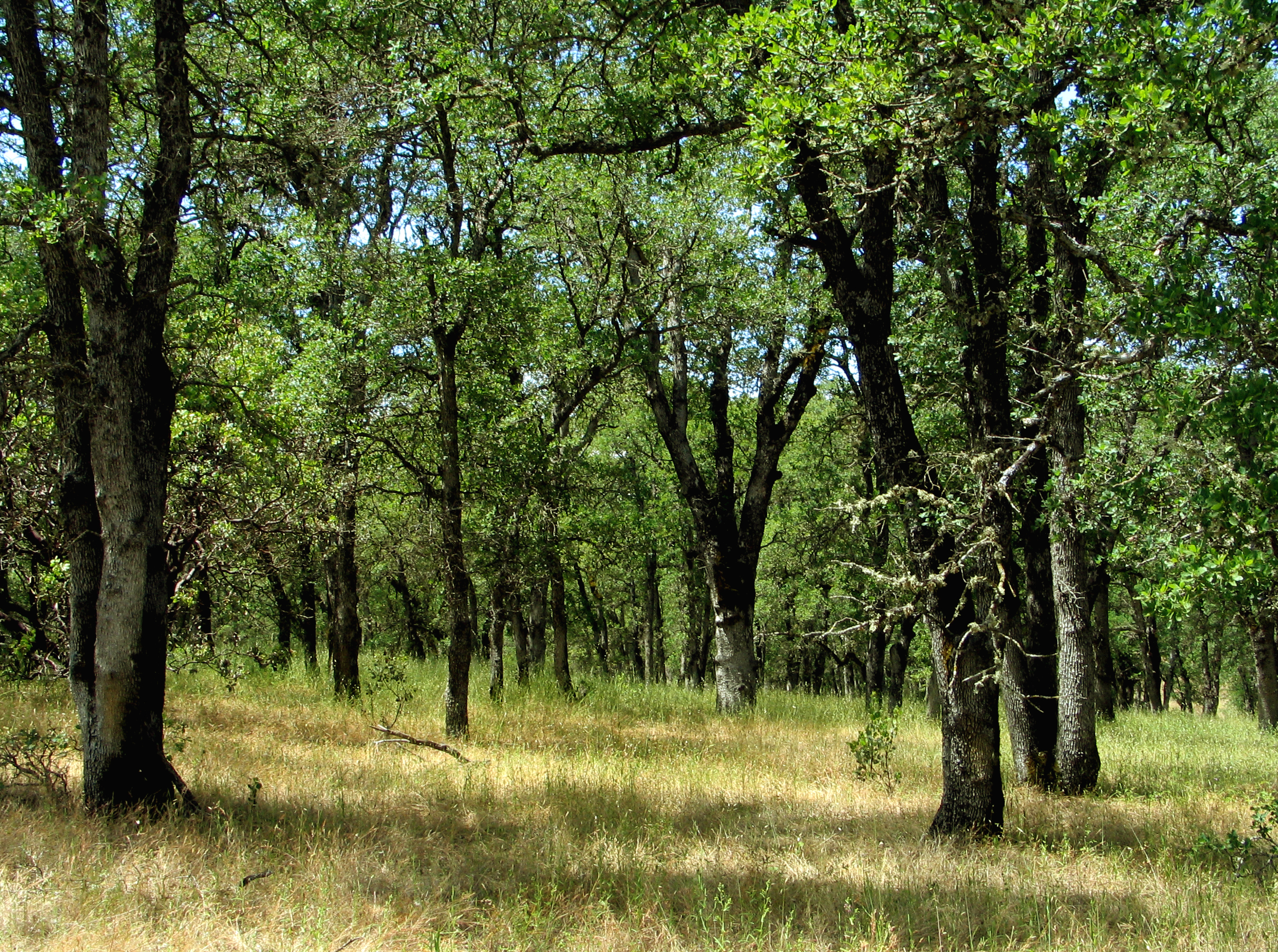 These blue oak trees are a bit overcrowded and miss fire, but they can still deliver a good acorn harvest